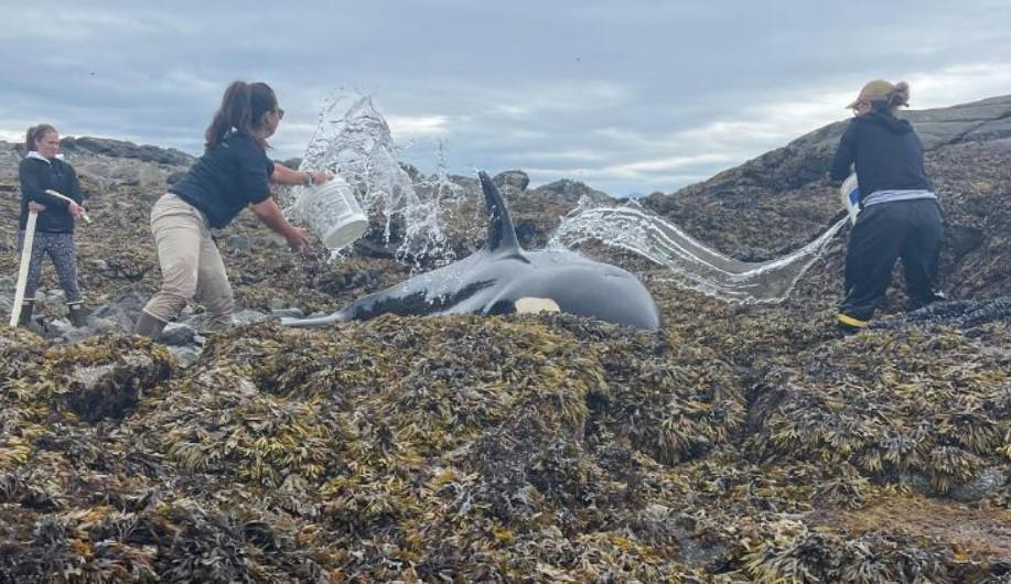 Após horas encalhada, orca é libertada de costa rochosa no Alasca